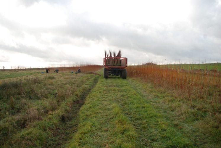 Début de récolte de l'osier 2017