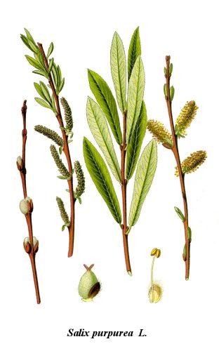 Salix_purpurea lithographie